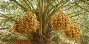 cara-budi-daya-pohon-kurma-daerah-tropis